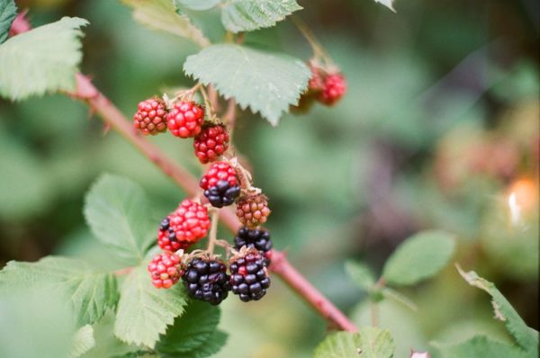 biodynamic blackberries on Hoskins Berry Farm